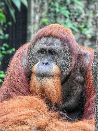 Orangutan EyeEmBestPics Orangutans Eyeemphotography Save Orangutan Eye4photography  EyeEm Best Shots EyeEm Best Shots - Nature Check This Out Singapore Zoo