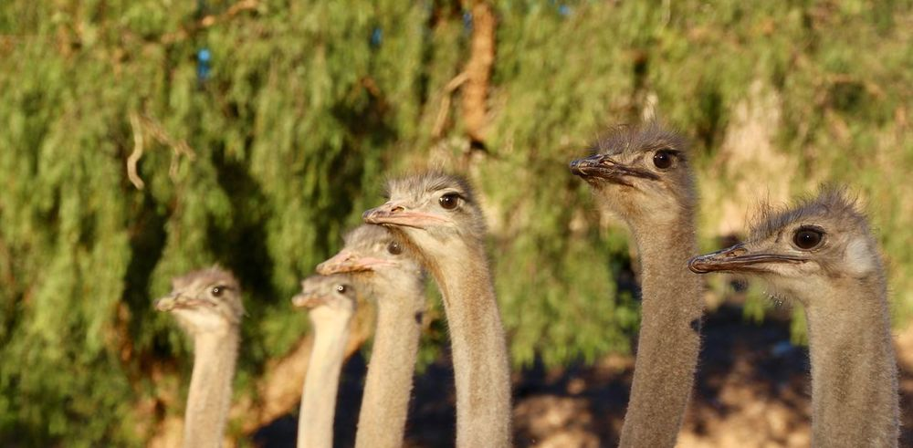 Ostrich, Oudtshoorn South-Africa EyeEmNewHere Farm Nature No Filter Ostrich South Africa Unedited Unedited Photo Africa Animal Themes Animal Wildlife Animals In The Wild Bird Close-up Day Focus On Foreground Focus On Foreground,shallow Focus Mammal Nature No People Ostrich Oudtshoorn Outdoors Young Animal Young Bird