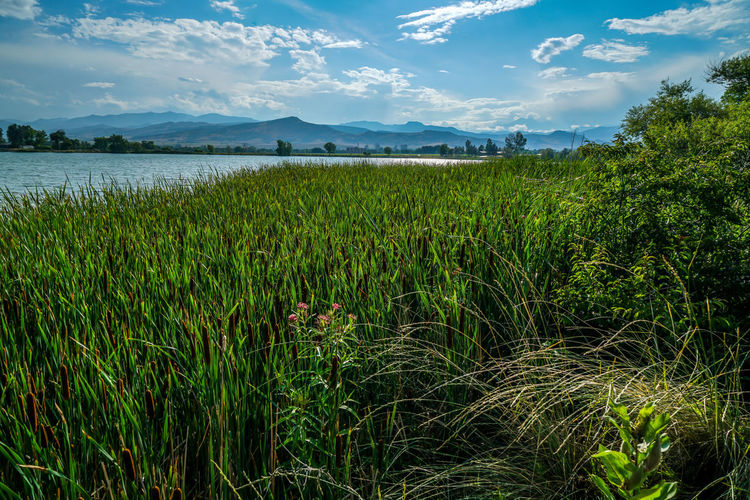 Some incredible cattails on McCall Lake near Longmont Colorado. Canoeing Colorado Longmont, Co Nature Scenic View Beauty In Nature Catails Cloud - Sky Fishing Lake Landscape Mountains Outdoors Park Photography Sky Summer Water