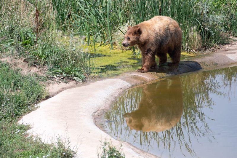 Animal Animal Themes Mammal Water One Animal Animal Wildlife Bear Nature Reflection Outdoors