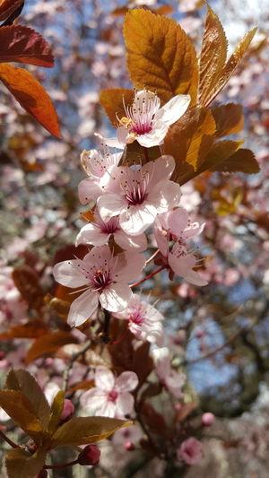 Flowers Flower Sakura Sakuraflowers Cerisier Fleuris Cherryflower Cherryflowers Colour Of Life Colorful
