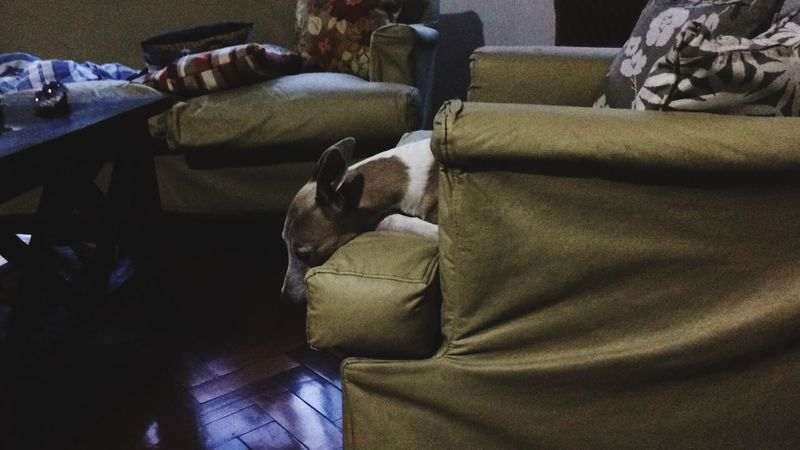 Saddog Whippet Missing You