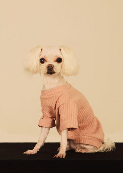Portrait of dog sitting against beige background