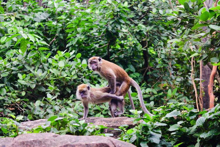 Monkeys Mating Animal Wildlife Animals Forest Joy Jungle Making Love Mating Monkeys No People Outdoors Pleasure Procreation