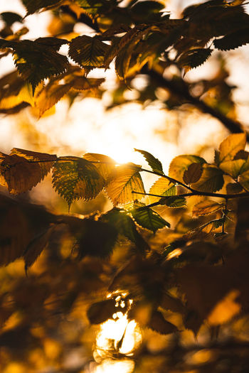 Low angle view of leaves against trees during sunset