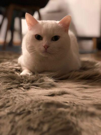 Mia Snowwhite Snowwhite Cat Mammal Animal Themes Pets Domestic Domestic Animals Portrait First Eyeem Photo