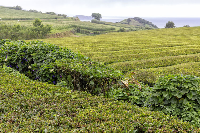A tea plantation, one of only two in Europe near Sao Bras on Sao Miguel in the Azores. São Brás São Brás Cha Gorreana Portugal Azores Sao Miguel Tea Green Black Production Factory Industry Rows Atlantic Europe Cha Gorreana Organic Leaf Agriculture Island Tourism Drink No People