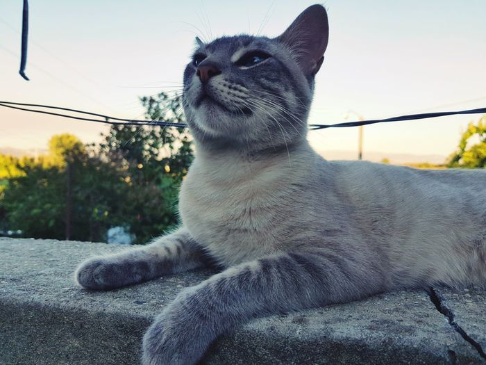 Lord Cat Domestic Cat Sitting One Animal Pets Day Animal Themes Outdoors Mammal No People Domestic Animals Close-up Sky Samsung Galaxy S8 Beauty In Nature Relaxing Cat Eyes Love Cats Colours Phonecamera Portugal Cat Lover Full Frame Photography