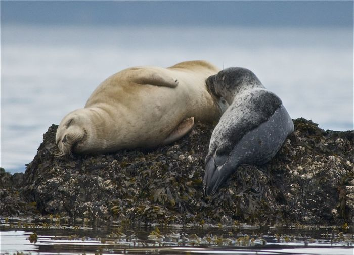 Close-Up Of Seals On Rock In Sea