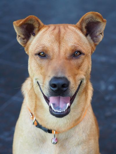 Smile Dog Smile Smiling Expression Dog Expression Smiling Dog One Animal Dog Mammal Canine Pets Animal Themes Animal Domestic Domestic Animals Looking At Camera Vertebrate No People Portrait Close-up Collar Day Focus On Foreground Animal Body Part Pet Collar Outdoors