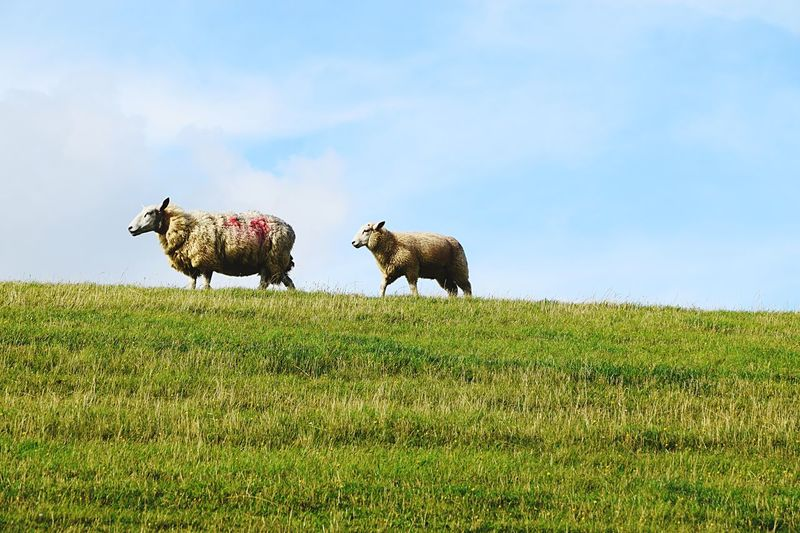 Two Is Better Than One Grass Animal Themes Field Domestic Animals Green Color Livestock Landscape Sky Blue Grassy Mammal Nature Day Green Tranquility Solitude Outdoors Cloud - Sky No People Beauty In Nature (null)Sheeps Dike