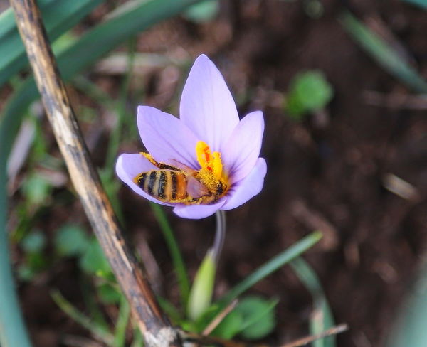 Macro Photography Bee Crocus Day Flower Fragility Insect Insetti Eyeem Insettisuifiori Nature No People Petal Pollination