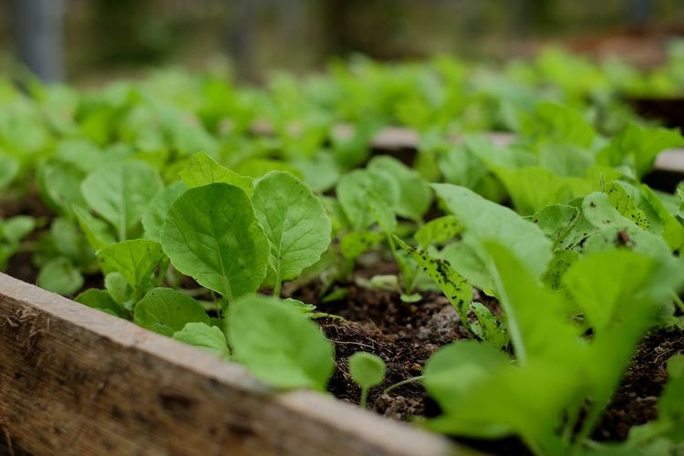 Close-Up Of Vegetable Growing At Farm