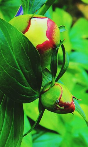 In My Garden Flower Flower Photography Beautiful Flowers Garden Photography Beautiful Nature Peony  Peony Bud