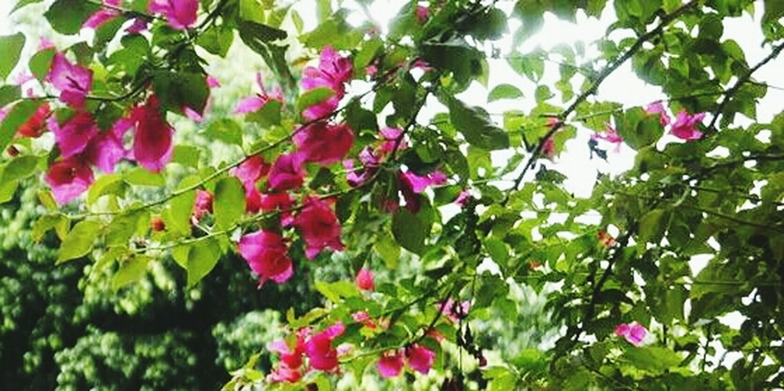 growth, flower, freshness, leaf, pink color, branch, beauty in nature, tree, nature, low angle view, fragility, plant, green color, close-up, focus on foreground, day, outdoors, blooming, no people, pink