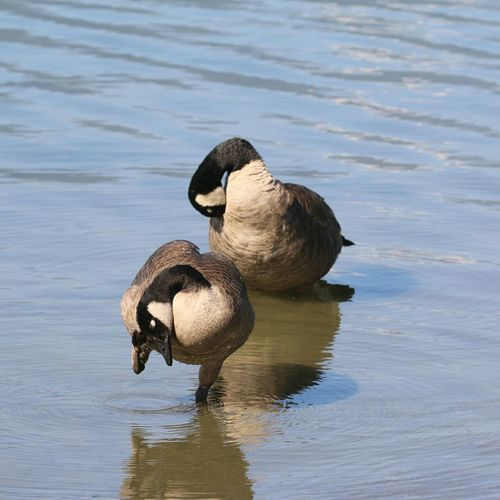 High angle view of canada geese preening in lake