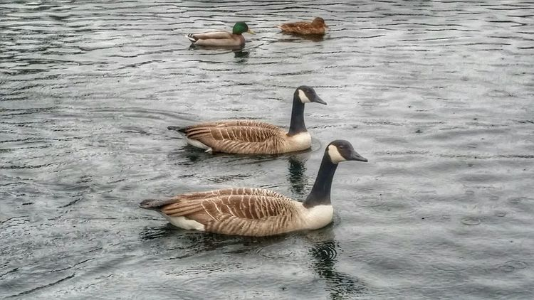 Geese At The Park Water Ducks Chelmsford Photography In Motion