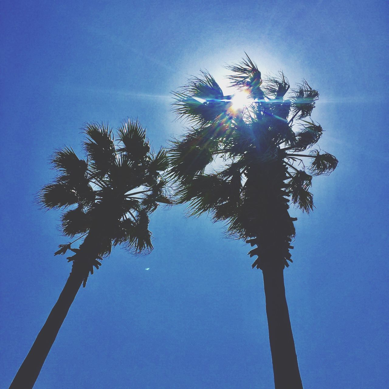 palm tree, tree, low angle view, tree trunk, blue, sky, growth, nature, day, clear sky, no people, outdoors, beauty in nature