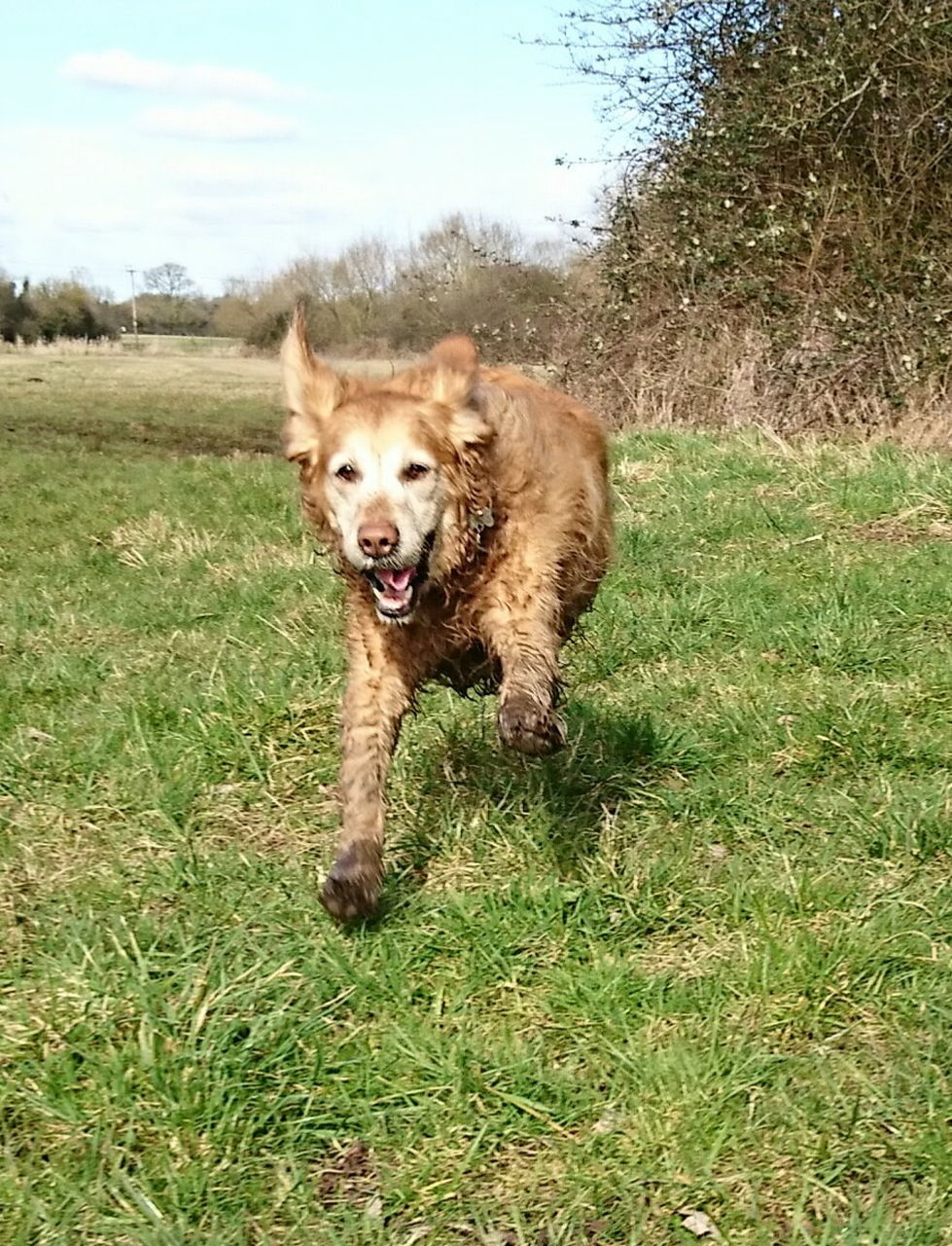 dog, animal themes, mammal, pets, domestic animals, grass, one animal, running, field, day, outdoors, full length, nature, motion, water, no people, growth, portrait, sky