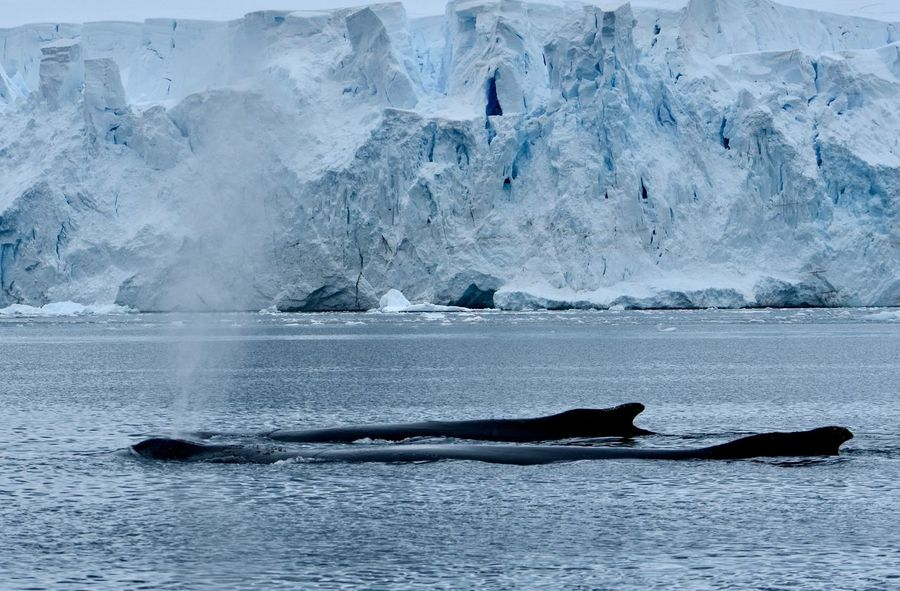 Animals In The Wild Antarctic Antarctica Glacier Humpback Whale HumpbackWhale Ice Iceberg Snow Whale Whales Winter Winter Wonderland