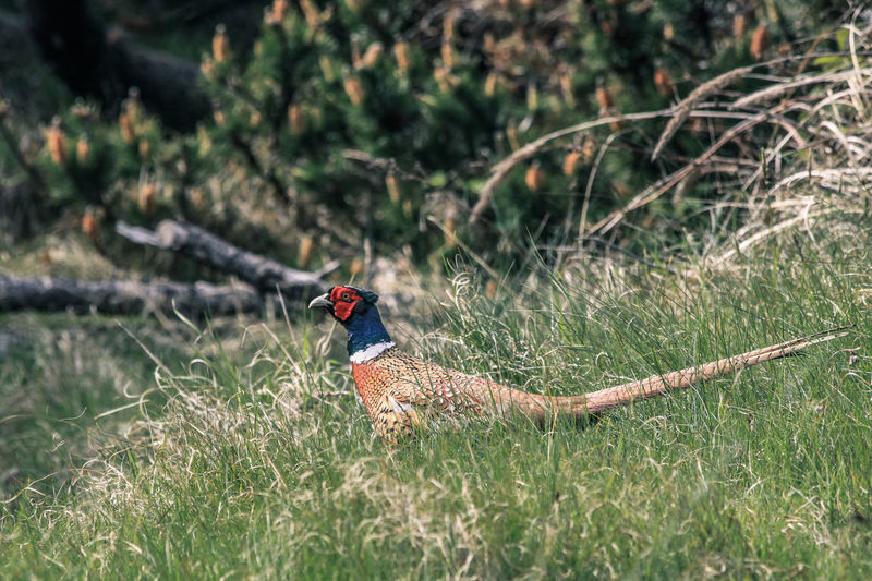 Denmark Pheasant Animal Themes Animal Wildlife Animals In The Wild Beauty In Nature Bird Day Grass Nature No People One Animal Outdoors Perching Pine Tree Pine Woodland Red