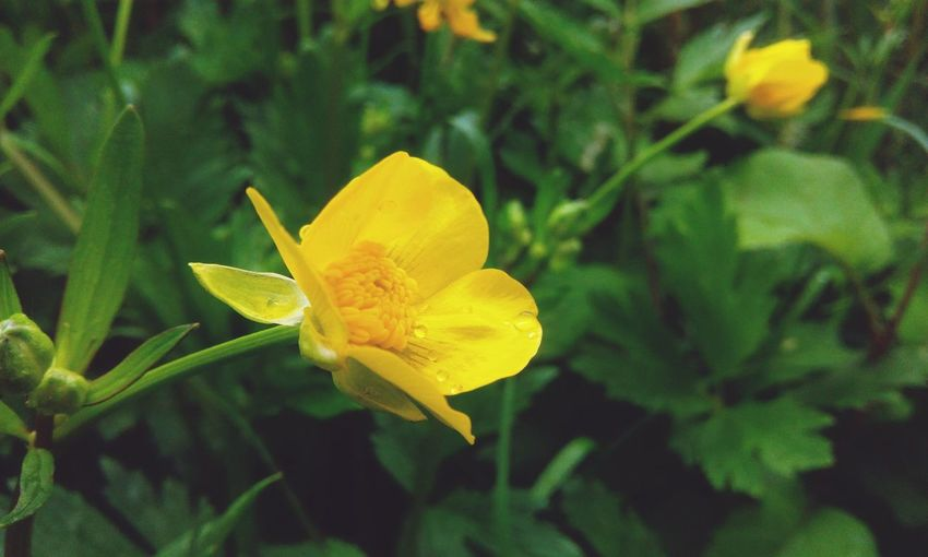 Yellow Plant Flower Flowering Plant Freshness Beauty In Nature Nature Growth Flower Head Close-up Leaf Plant Part No People Petal Inflorescence Green Color Fragility Springtime Summer Outdoors