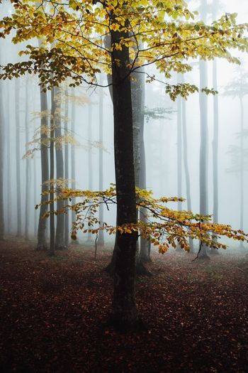Mysterious beech forest in fog. autumn morning in the misty woods. majestic nature background.