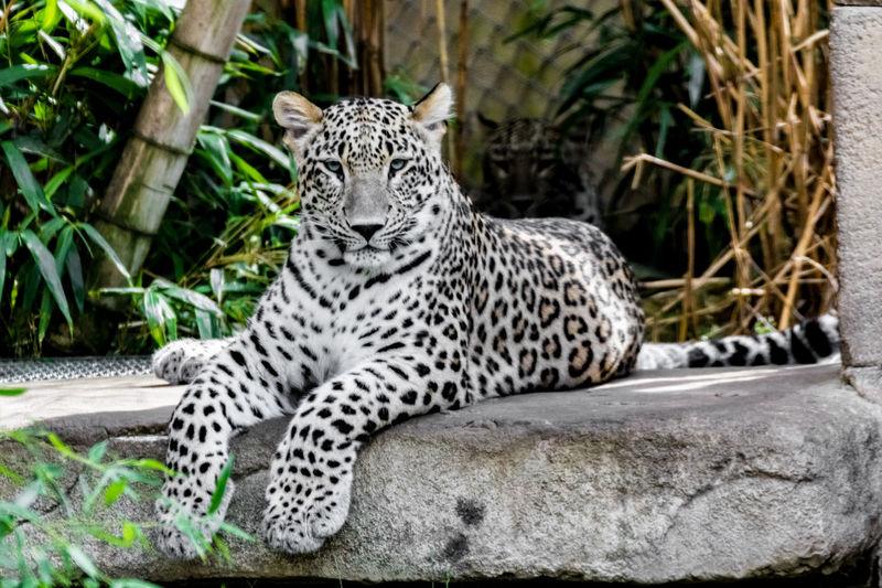 Portrait of persian leopard relaxing on stone in zoo