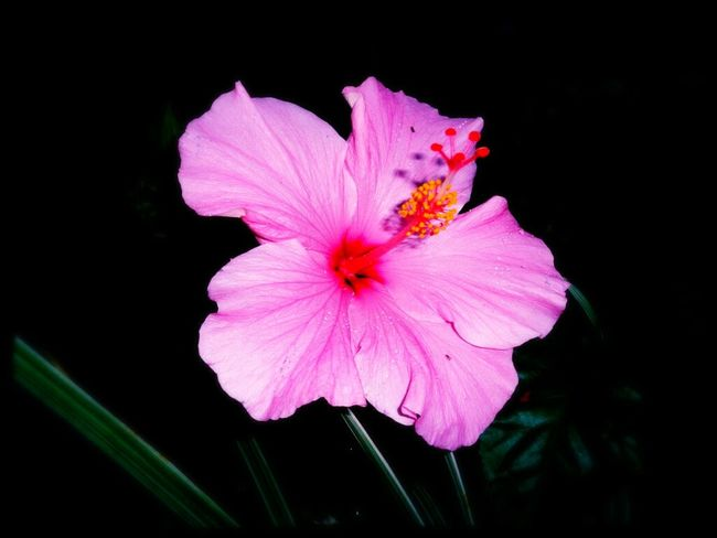 Flower Flower Head Pink Color Fragility Beauty In Nature Nature Petal Close-up Freshness Plant Growth No People Black Background Outdoors Day hibiscus, EyeEmNewHere