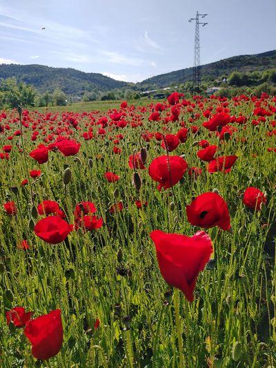 Red poppy flowers on field against sky