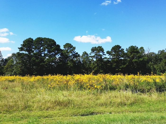 Growth Tree Nature Agriculture Field Beauty In Nature Outdoors Day Yellow No People Rural Scene Sky Flower Plant Cloud - Sky Summer Scenics Freshness Landscape Yellow Flower Fields Of Gold Field Of Flowers