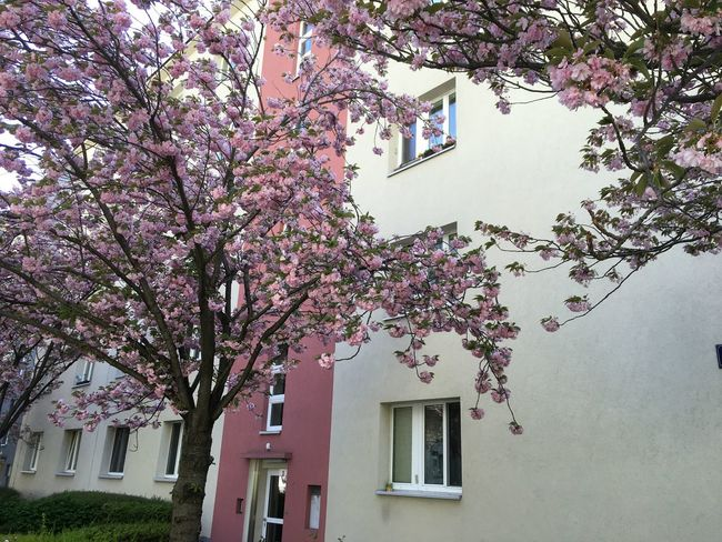 Cherry trees in Vienna, Austria Architecture Beauty In Nature Blooming Blossom Branch Building Exterior Built Structure Cherry Tree Clear Sky Close-up Day Flower Fragility Freshness Growth Low Angle View Nature No People Outdoors Pink Pink Color Sky Springtime Tree