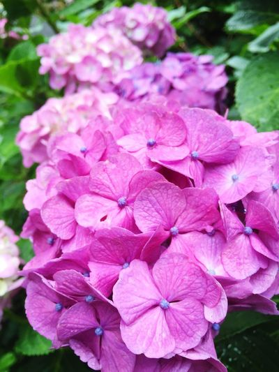 Day Beauty In Nature Flower Pink Color あじさい Purple
