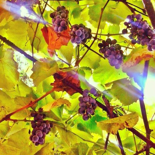 Grapes Leafs Vine Light warm colors urban nature natural day timisoara fall september 2013 autumn street rainy sunny