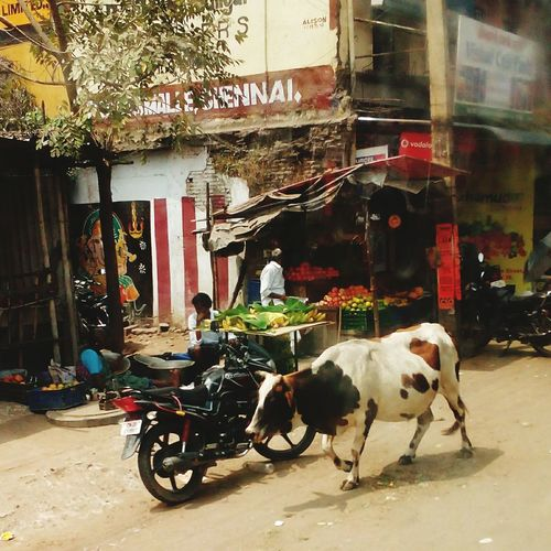 The cow and the motor bike! Morning Views Motorbike Cow Make A Difference Have A Nice Day♥ Travel Photography Taking Photos Check This Out Exceptional Photographs Everything In Its Place Quality Photography Surprises Remembering The Times True Colours Of Life Different View Busy Street Ayub The Poet Showcase March Ayubkhan.U Yeah Springtime! Quintessential Q