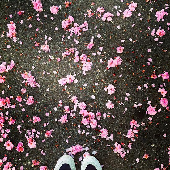 Goodbye beautiful. Beautiful Cherry Blossoms Japan Photography Japan Pink Onmywaytowork Nature Flowers
