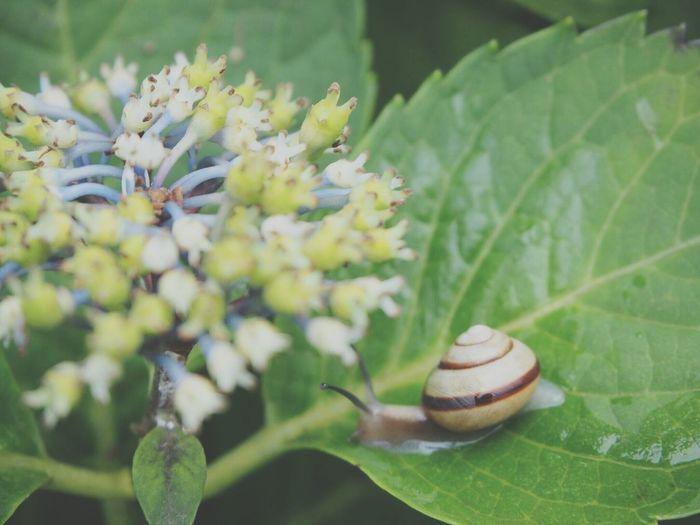 雨が降るとカタツムリさんは元気でーす🐌 梅雨 あじさい 昆虫 カタツムリ Eye Em Nature Lover