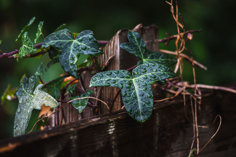 Close-up of fresh green ivy leaves on plant