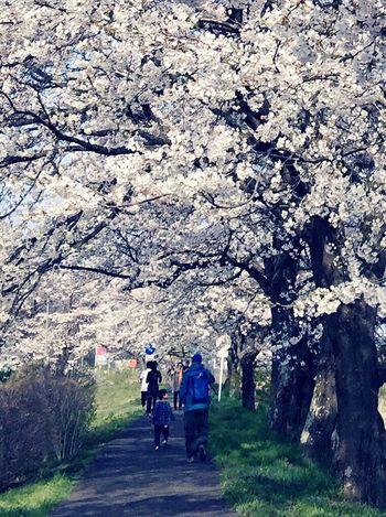 宮城県一目千本桜 希望の桜道 EyeEm Nature Lover Tree_collection  TreePorn Flower Porn Enjoying Life Sakura