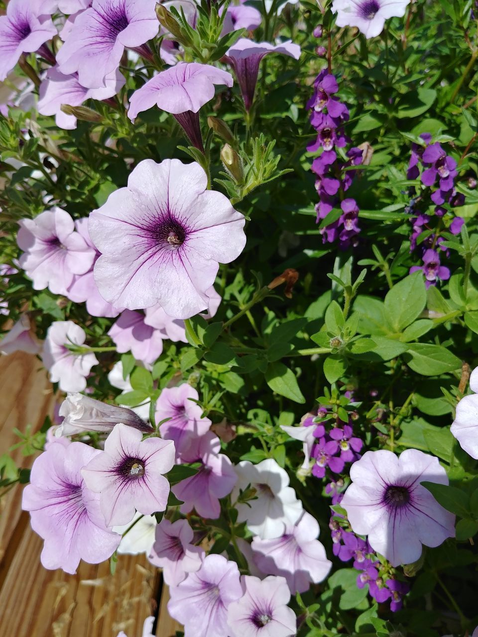 flowering plant, flower, vulnerability, fragility, plant, freshness, petal, beauty in nature, flower head, growth, inflorescence, close-up, pink color, petunia, nature, no people, day, white color, outdoors, high angle view, purple