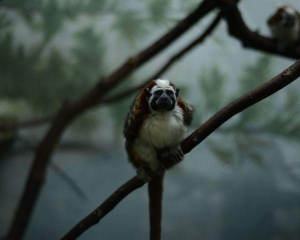 Monkey Zoo Maki