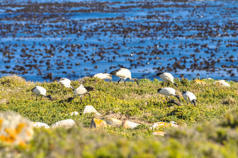 Great egrets on grassy field against sea