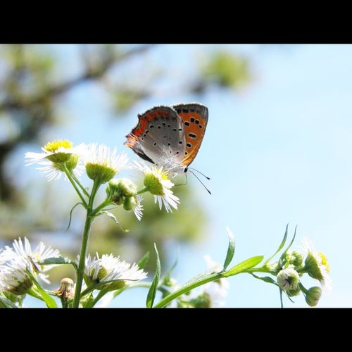 _Lycaena phlaeas_ small copper Butterfly Insect Daisy Fleabane Pinetrees