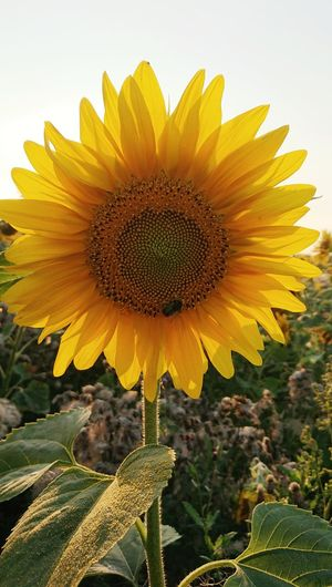 Close-up of sunflower in field