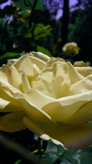 Growing Tranquility Exterior Sunlight No People Beauty In Nature Yellow Outdoors Selective Focus Close-up Botany Fragility Flower Head Rose Gold Rose - Flower Rose🌹 43 Golden Moments Wonderful Wonderful Nature