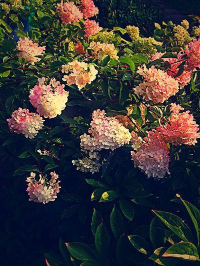 Flowers Pink Summer
