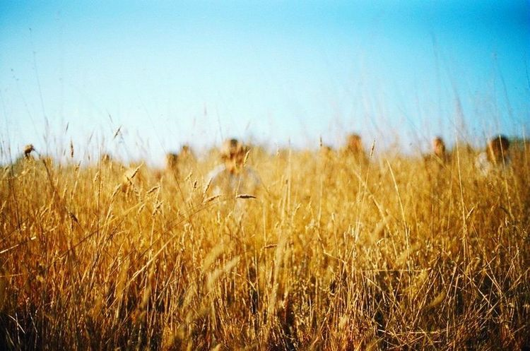 Field Growth Tranquility Nature Selective Focus Plant Clear Sky Beauty In Nature Crop  Yellow Scenics Tranquil Scene Blue Day Rural Scene Abundance Focus On Foreground Outdoors Non-urban Scene Wheat