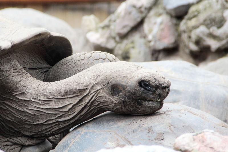 Animal Animal Themes Close-up Galapago Galapagos Tortoise One Animal Tortoise Tortuga De Galápagos