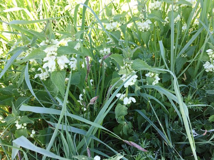 white nettle Plant Growth No People Flowering Plant