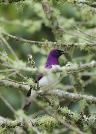 Lilac starling perching on tree